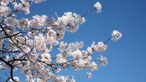 青に桜:当社代表岩本が撮影した写真で